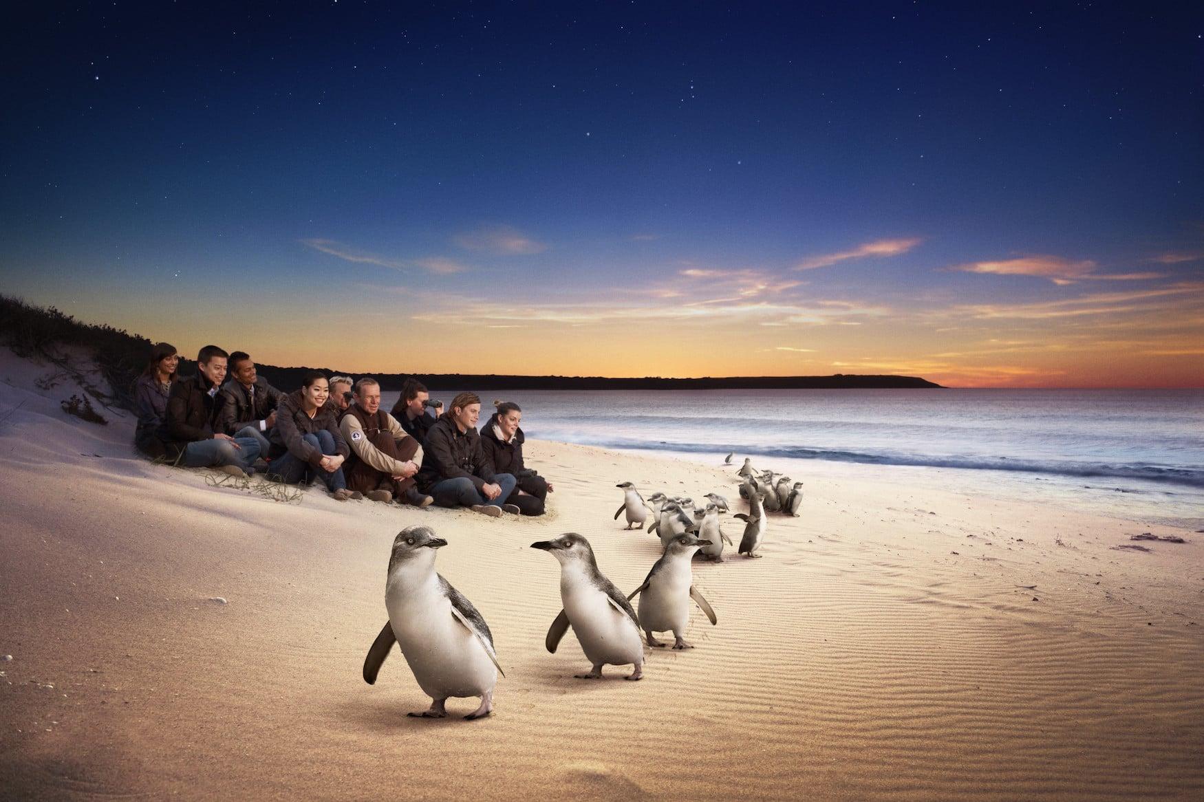 Die weltweit größte Zwergpinguinkolonie am Strand auf Philipp Island in Australien