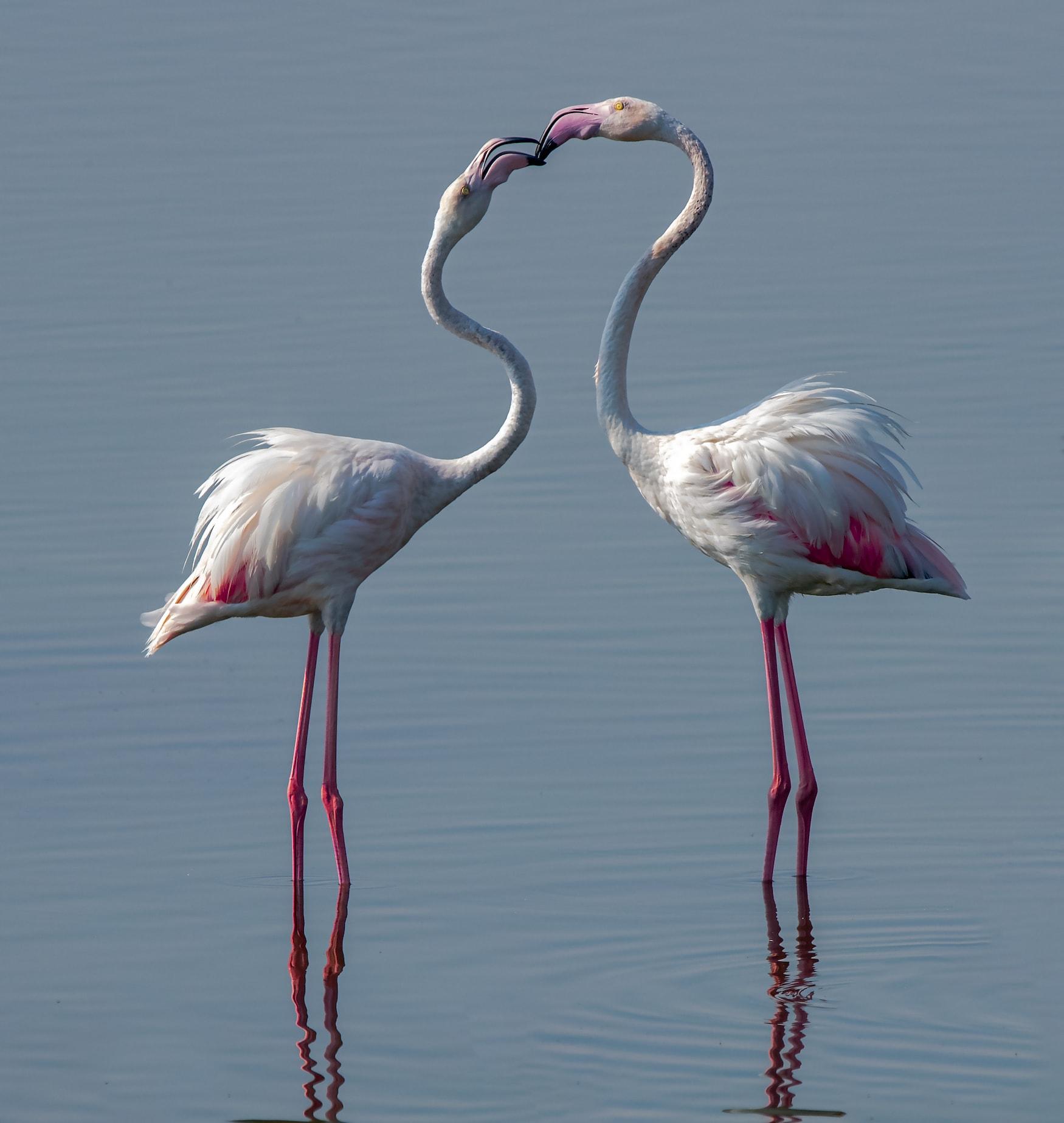 Zwei Flamingos in Katar