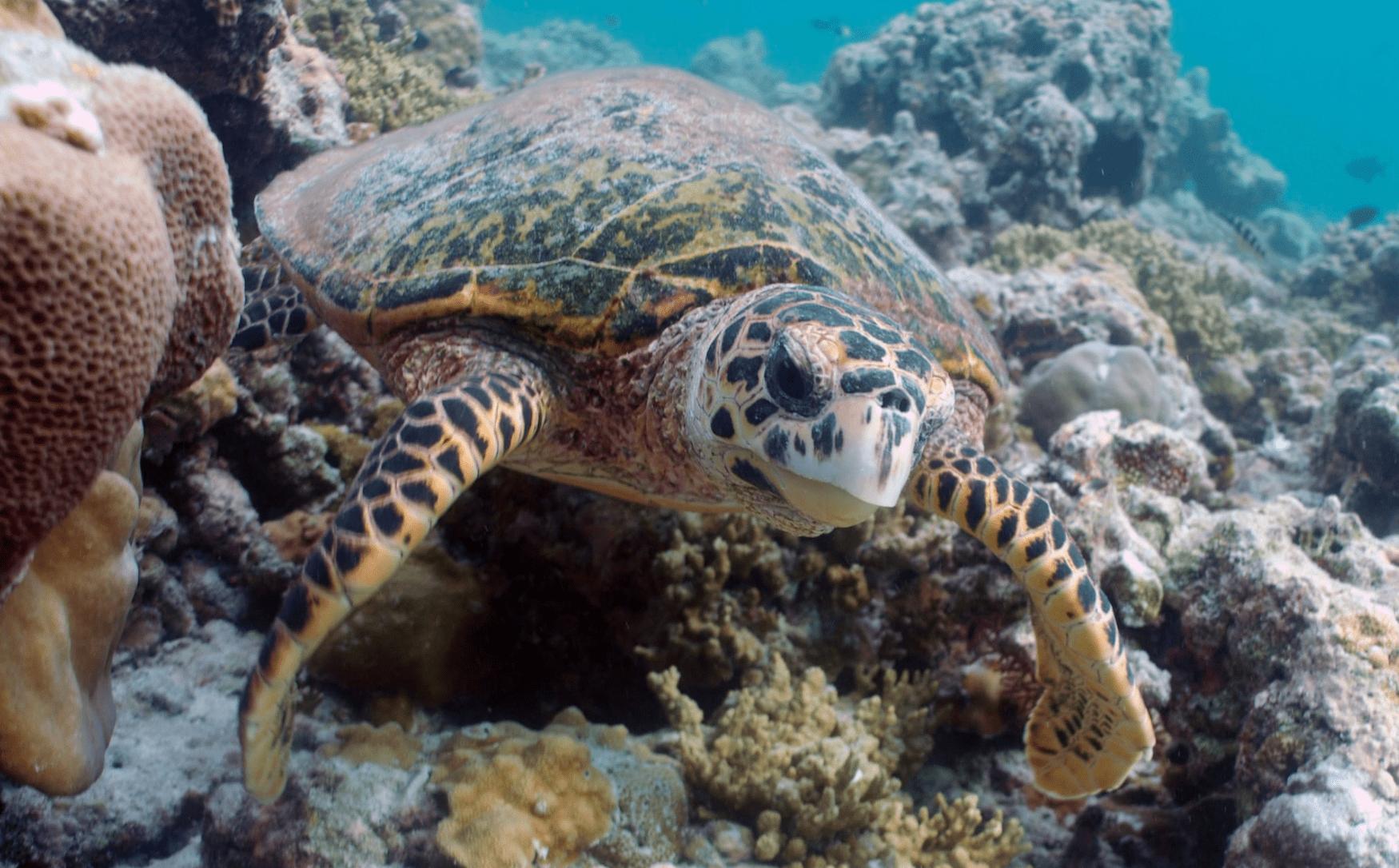 Tiere in Katar: Die Karettschildkröte in der Nahaufnahme
