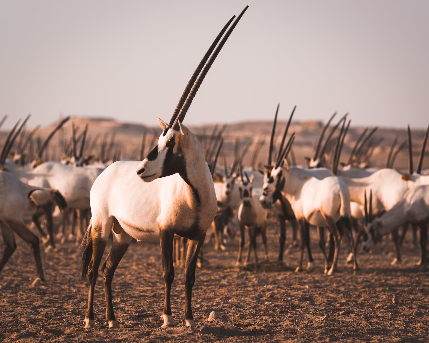Arabische Oryx in der Wüste von Katar