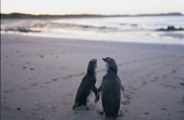 Zwergpinguine im Phillip Island Nature Park