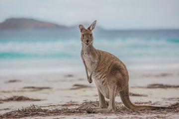 Känguru-Selfie am Strand