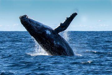 Wale in Westaustralien