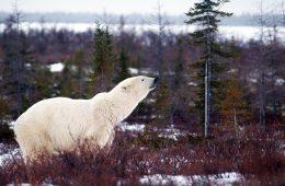 Eisbär in der Tundra in Churchill
