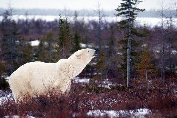 Eisbär in der Tundra in Churchill