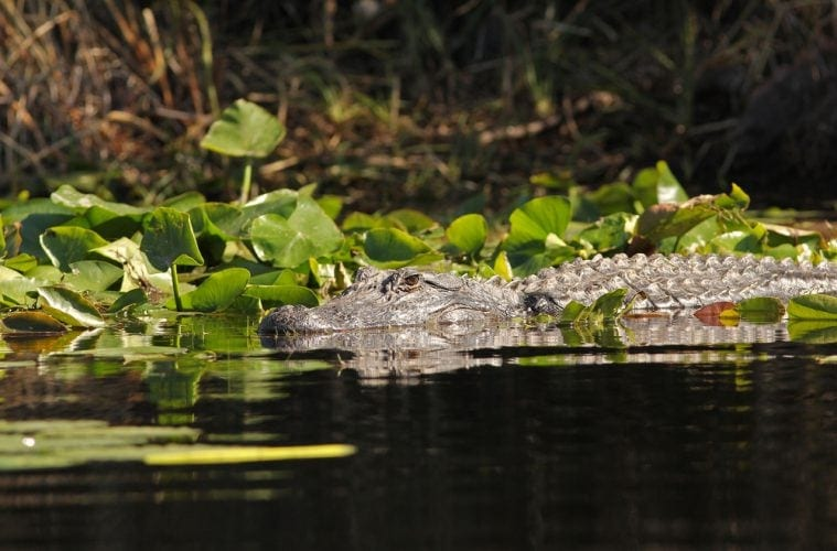 Alligator im Norden Floridas